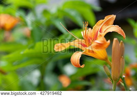 Lily Flowers. Beautiful Orange Flowers Lilies On A Blurred Green Natural Background. Daylily In The
