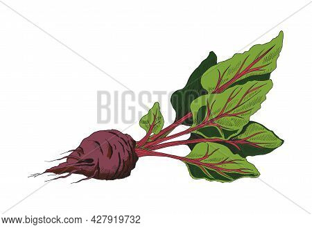Vector Illustration Of Ripe Red Sugar Beet With Leaves. A Hand Drawn Beetroot Sketch Isolated On Whi