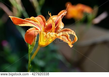 Lily Flowers. Close-up Of Beautiful Orange Lily Flowers On A Blurred Background. Daylily In The Gard