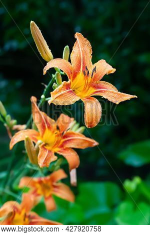 Lily Flowers. Wet Beautiful Orange Lily Flowers With Drops On Temrazmytom Background With Bokeh Effe