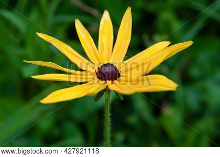 Rudbeckia Flowers. Close-up Of Wet Yellow Rudbeckia Flowers In A Flower Bed. Black-eyed Susan In The