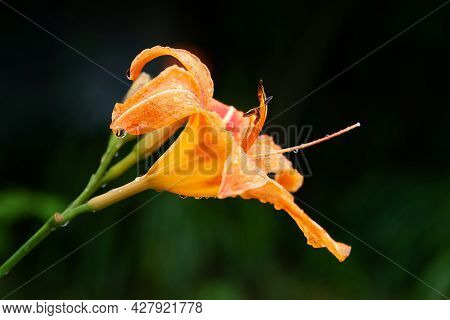Lily Flowers. Wet Beautiful Orange Flowers Lilies With Drops On A Dark Blurred Background With Bokeh