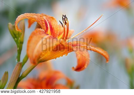 Lily Flowers. Close-up Of Wet Beautiful Orange Flowers Lilies With Drops On A Blurred Background Wit