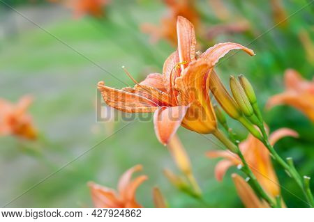 Lily Flowers. Beautiful Orange Flowers Lilies On A Blurred Green Natural Background With Bokeh Effec
