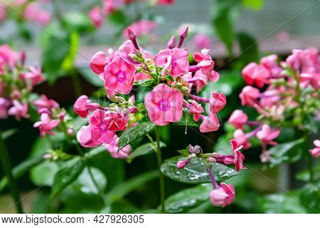 Phlox Flowers. Beautiful Large Inflorescences Of Pink Phlox On A Blurred Background With Bokeh Effec