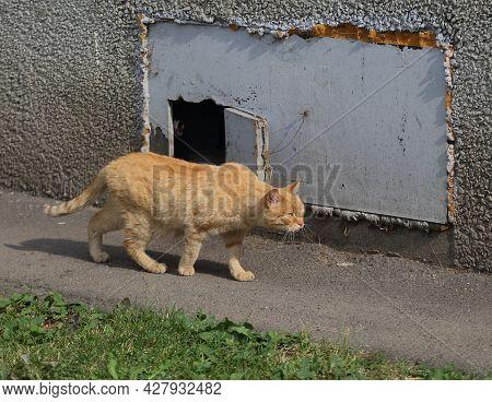 A Red Cat Walks Along The Basement Window