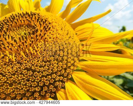 Flower In The Rays Of The Sun. Natural Background. Farm Harvest Concept. Selective Focus On The Core