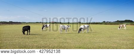 Young Spotted Cows In Green Grass Of Meadow Under Blue Sky On Dutch Island Of Texel In Summer In The