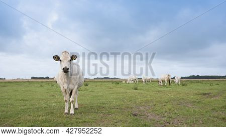 Herd Of White Cows On The Dutch Wadden Island Of Texel Under Blue Sky With Clouds In Summer