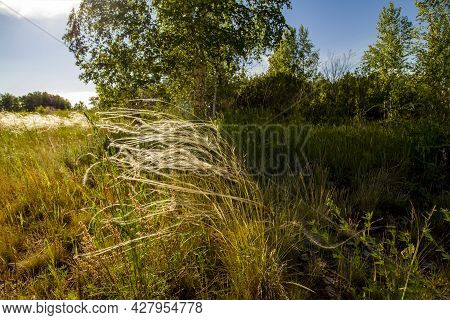 The Shade From The Trees On A Sultry Summer Afternoon. The Feather Grass Plant Grows On The Border O