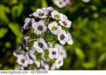 White Flower Sweet Alissum Sea In The Infield Garden-lobularia, Close-up