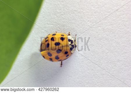 Selective Focus, Top View, A Macro Closeup Of A Lady Beetle Bug With Orange Wings And Black Spots, C