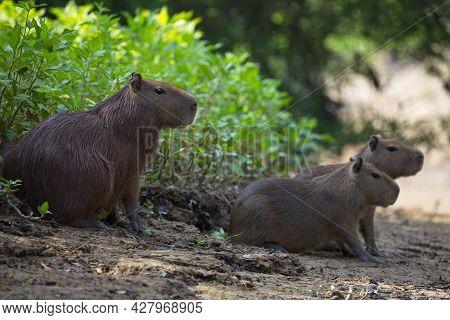 Closeup Portrait Of Family Of Capybara (hydrochoerus Hydrochaeris) Sitting On Riverbank Resting Pamp