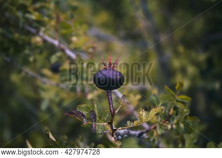 Ripe Berry Of Rosa Canina. Dog Rose. Soft Focus. Copy Space.