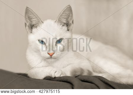 A White Kitten Is Staring Straight Ahead In Black And White Colorized Image Format