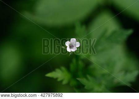 Geranium Flower On A Natural Green Background.