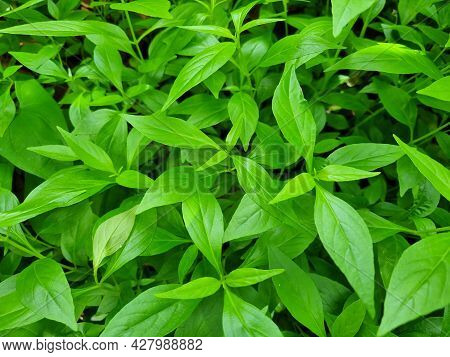 Antiviral Medicinal Plants The Andrographis A Paniculata