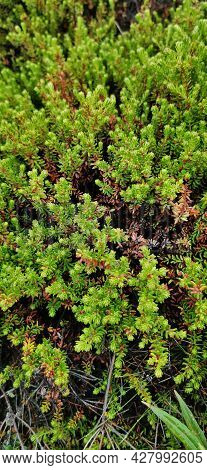 Background Of Crowberry Thickets In Coniferous Leaves Resembling Needles. Medicinal Plant. Healthy E
