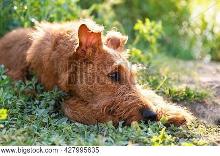Gorgeous Beautiful Purebred Young Obedient Irish Terrier Dog With A Wise Smart Serious Look Lies In