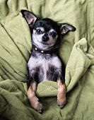 a cute chihuahua napping in a blanket poster