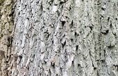Close-up old bark in nature forest. Pine poster