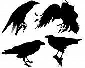 raven birds detailed vector silhouettes - fine black outlines over white poster