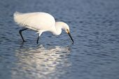 Snowy egret (Egretta thula) foraging for food in a shallow pond - Florida poster