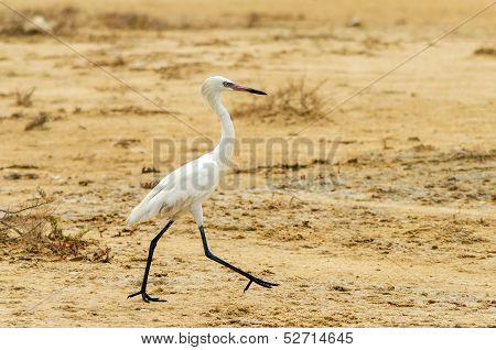 Walking Great Egret