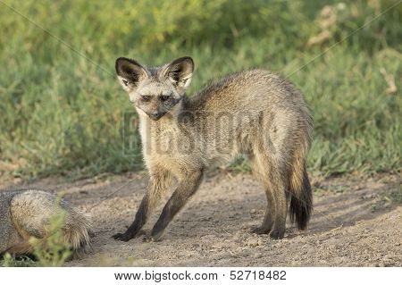 Bat-eared Fox (otocyon Megalotis) Tanzania