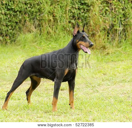 A young beautiful black and tan Doberman Pinscher standing on the lawn while sticking its tongue out and looking happy and playful. Dobermann is a breed known for being intelligent alert and loyal companion dogs. poster