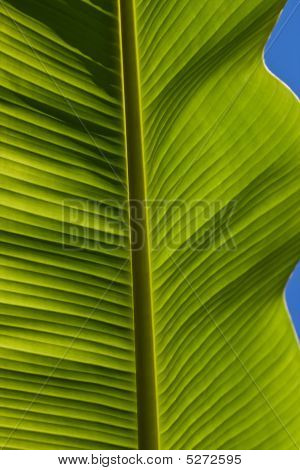 Backlit Banana Leaf