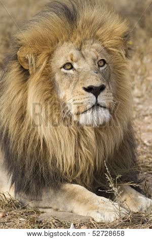 Male African Lion (panthera Leo) South Africa
