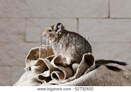 The degu (Octodon degus) is a small caviomorph rodent that is endemic to central Chile. poster