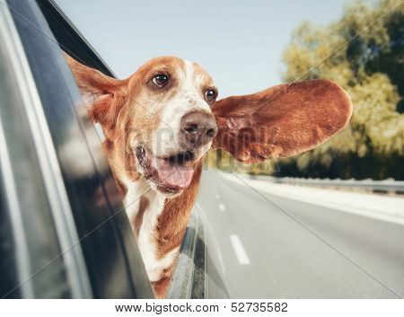 a basset hound in a car vintage toned