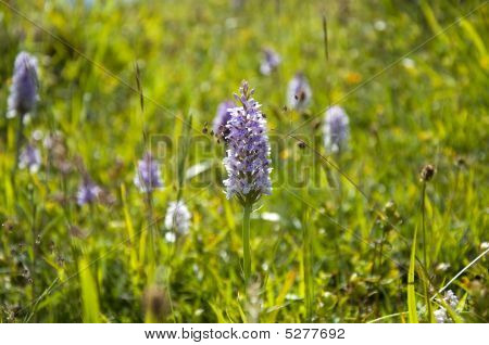 Common Orchids