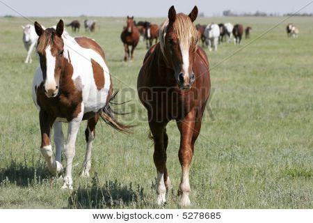 Horse Herd On Open Land