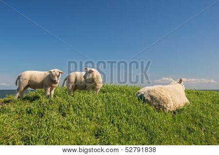 Sheep with lambs at the Dutch dyke at Texel