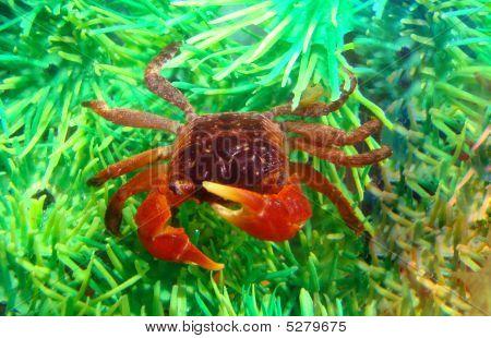 Red Midget Mangrove Crab Lately In Aquarium