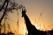 Giraffe in the bushveld of South Africa. poster