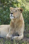 Male sub adult African Lion (panthera leo) Ndutu Serengeti Tanzania poster