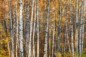 Autumnal birch forest photo background with white trunks and yellow leaves poster