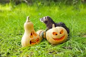 Ferret and halloween pumpkins on the green grass poster