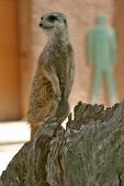 A meerkat at Adelaide zoo, with the symbol of man standing behind him... poster
