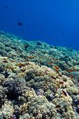 colorful coral reef with hard corals on the bottom of tropical sea on blue water background- underwater photo poster