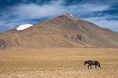 Wild horses at Himalaya mountains landscape. India, Ladakh, altitude 4600m poster