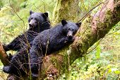 Black bear sow and cub sleeping in a tree, British Columbia, Canada poster