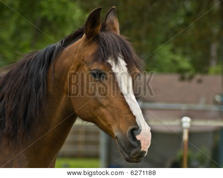 Brown Bay Quarter Horse Mare