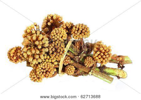 Araliaceae