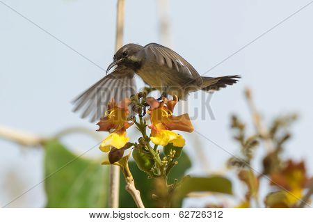 A young Beautiful Sunbird (Nectarinia pulchella) begging for food by shaking its wings poster