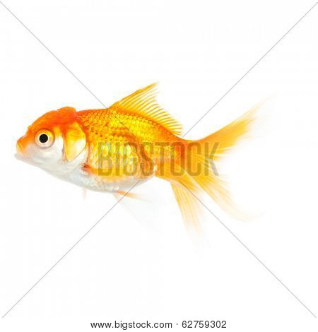 Close up of swimming orange fish, isolated on white. Concept of wish fulfilment and natural beauty